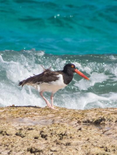 Oyster Catcher - Eleuthera